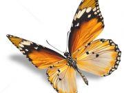 бабочки (83)