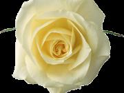 цветы (174)