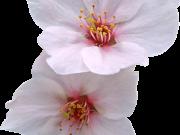 Фотопечать на потолке: Цветы 144