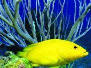 Жёлтая рыбка - обитательница морских глубин, изображение 10