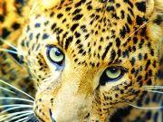 Леопард, изображение 2
