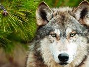 Волк,  изображение 6