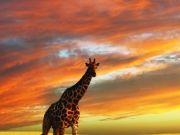 Жираф,  изображение 7